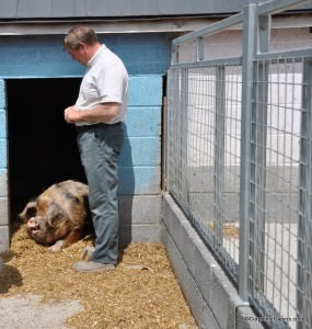 Rob and one of his Oxford Sandy & Black Pigs