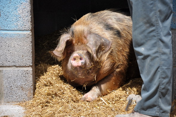 pig A New Adventure for Corpulent Capers