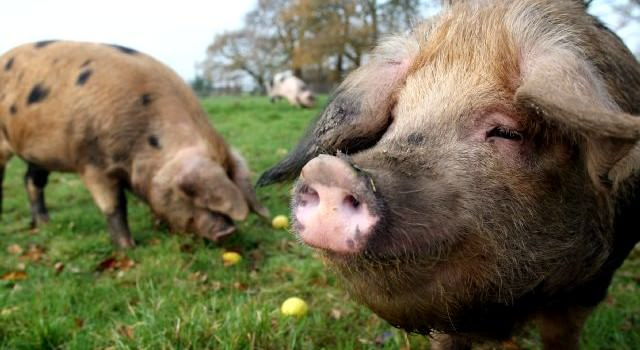 Welsh Pork: Oxford Sandy and Black Pigs